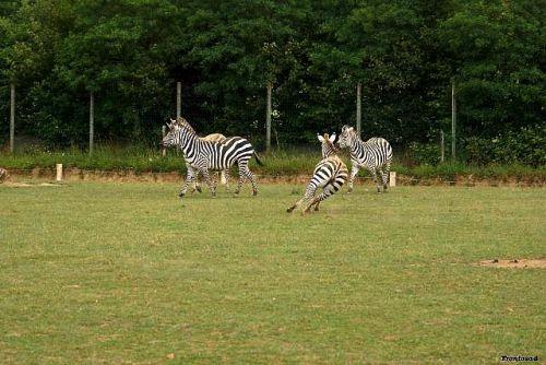 Débandade chez les zebres 2011