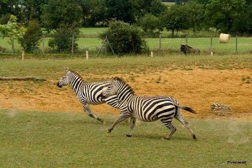 Zebres au galops 2011
