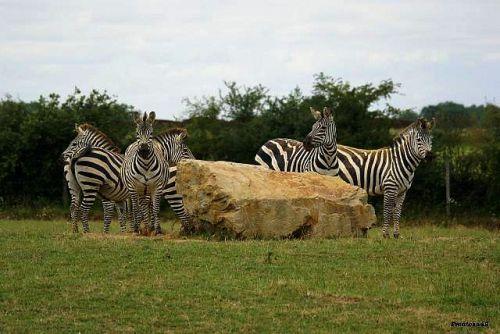Le calme est revenu chez les zebres 2011