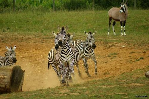 Zebre en plein galop de face 2011