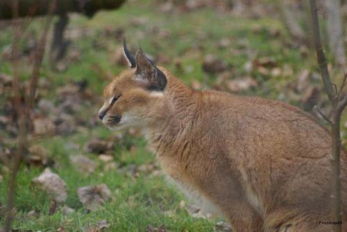 Caracal 2011 parc des félins