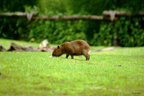 Jeune Capybaras 2010