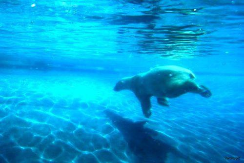 Ours polaire dans l'eau 2010