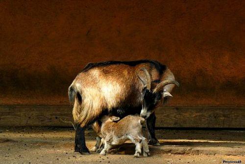 Chevreau qui tète sa maman