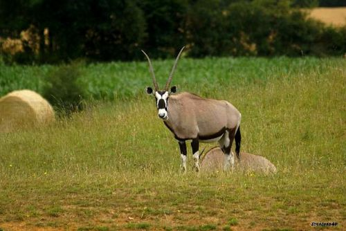 Antilope 2011