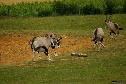 Groupe antilope la Boissière 2011