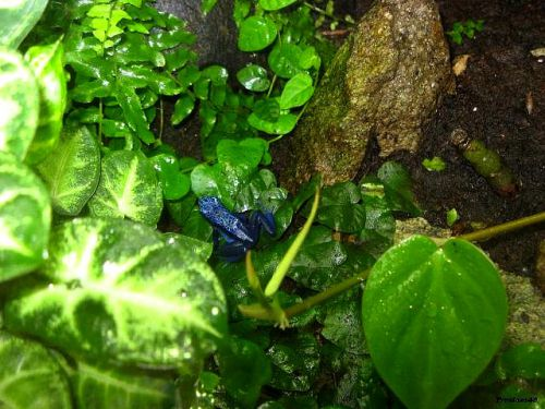 Grenouille bleu à la boissière 2011