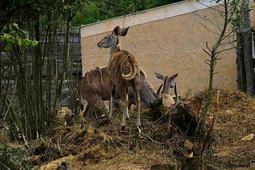 Antilope la Boissière 2011