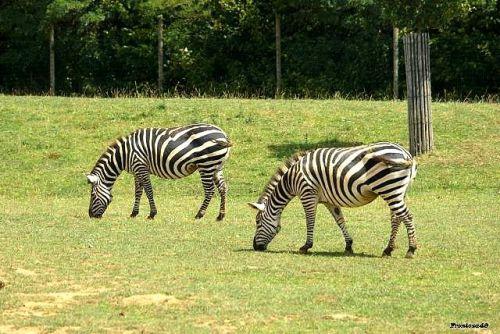 Deux zebres qui broutent la Boissière 2011