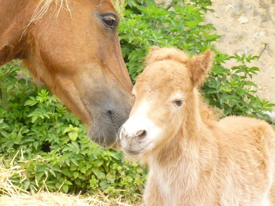 Les poneys Feol'