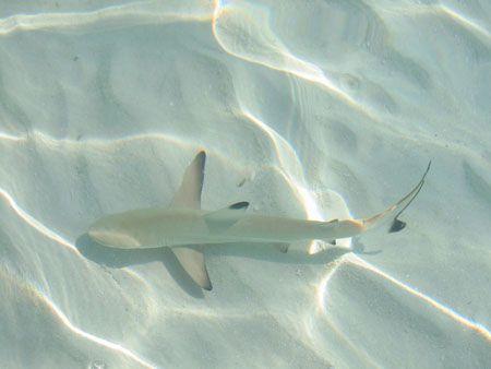 Requin pointe noire dans le lagon