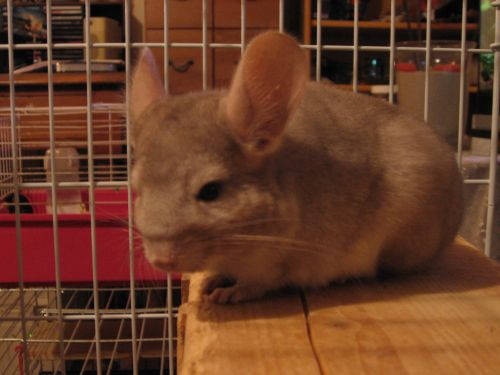 julie chinchilla beige