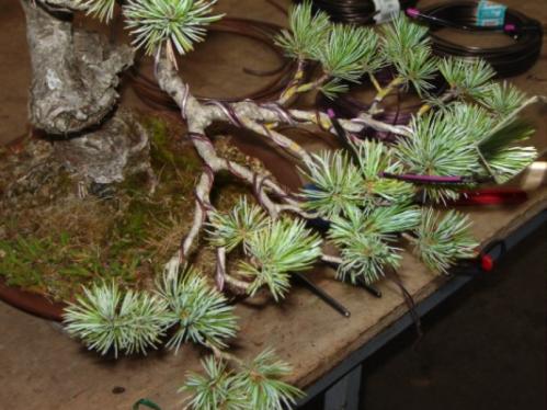 Pinus penta 2.png