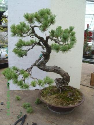 Pinus penta 1.jpg