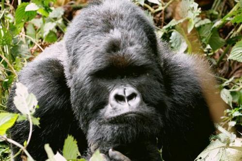 gorilla.jpeg