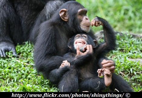 chimpanzee-family.jpg