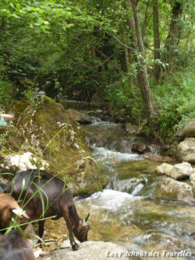 Chèvre se désaltérant à la rivière