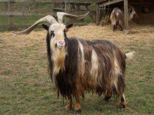 Chèvre des Fossés