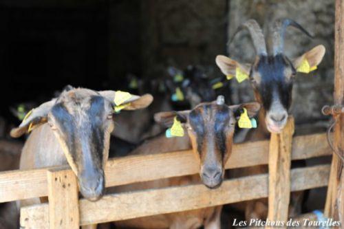 Chèvres en chèvrerie