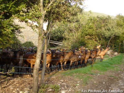 Chèvres et enclos électrifié 1