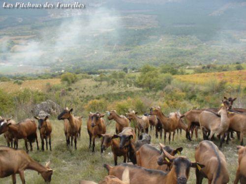 Chèvres alignées en garrigue