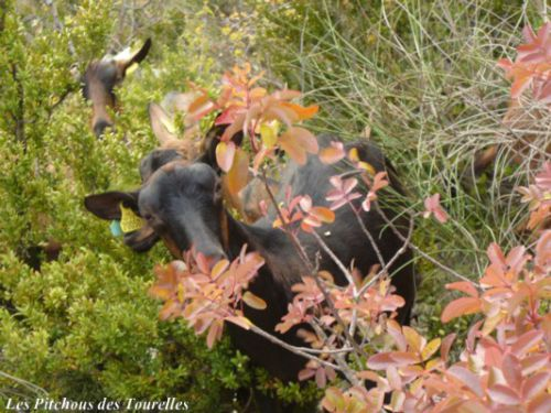 Portrait chèvre dans végétation automnale