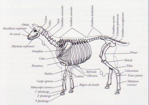 Squelette chèvre
