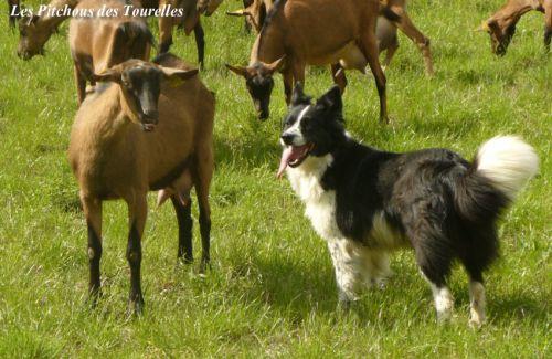 Pastoure et ses chèvres