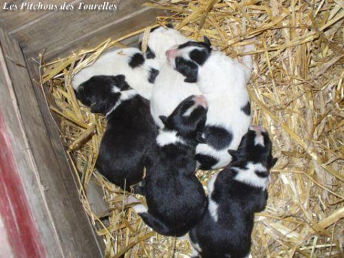 6 chiots de Léa 2011