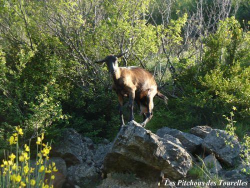 Une chèvre qui se prend pour un bouquetin... on aura tout vu !