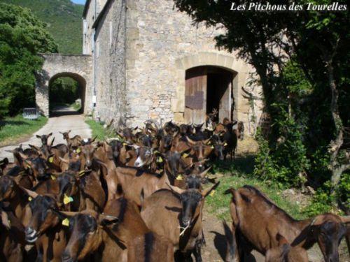 Les chèvres sortant de la chèvrerie
