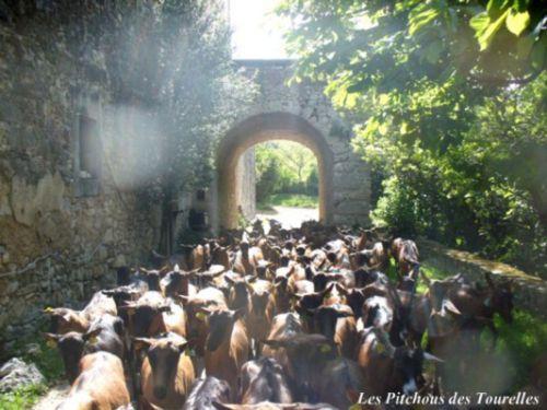 Les chèvres sous le porche se pressant pour aller brouter !