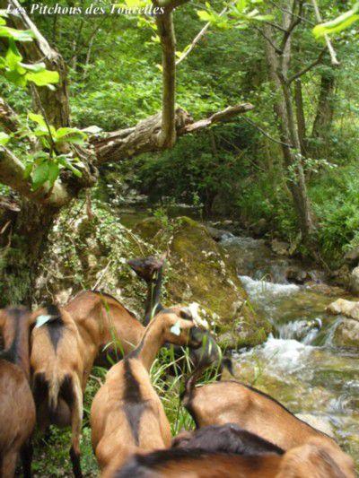Les chèvres en bordure de nos magnifiques petites rivières !
