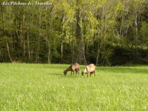 2 chèvres au milieu de la prairie