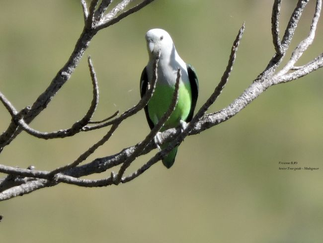 Grauköpfchen - grey-headed lovebird (Agapornis canus)