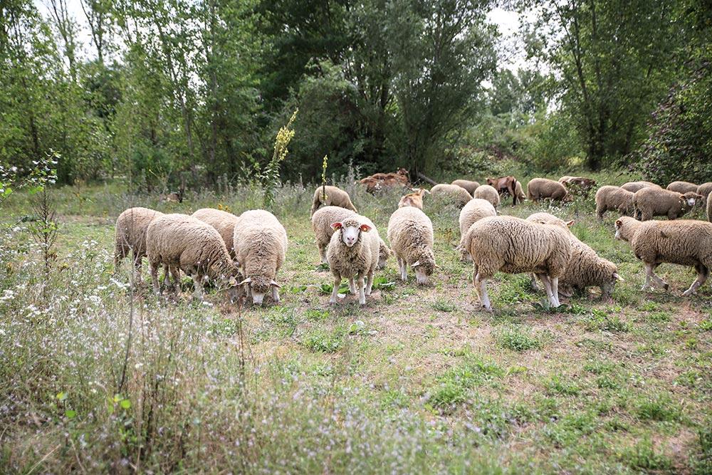 ROANNE 42/ Moutons à la gravière de Mâtel.