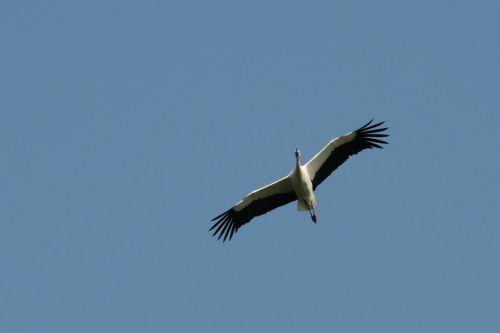 Cigogne survolant l'Infatigable © Jacques Ritaine