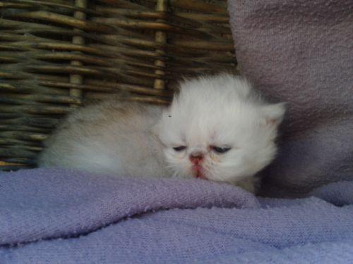 Notre petite rondelette est née le 22 Juillet 2013, elle est en attente d'évolution pour le moment, elle nous semble bien prometteuse. Cette petite puce nous fait littéralement craquer avec sa bouille d'amour!