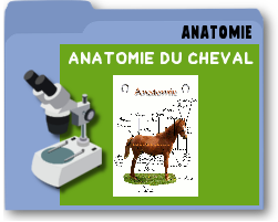 anatomieducheval.png