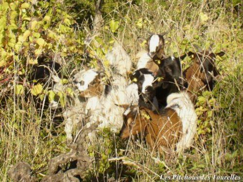 Chèvres noyées dans l'herbe