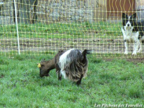Mini-chèvre devant clôture