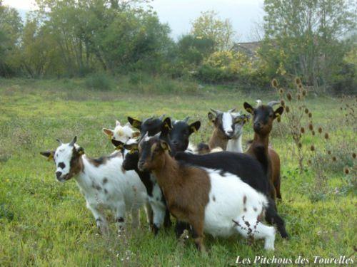 Mini-chèvres groupées