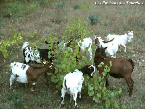 Mini-chèvres au pré