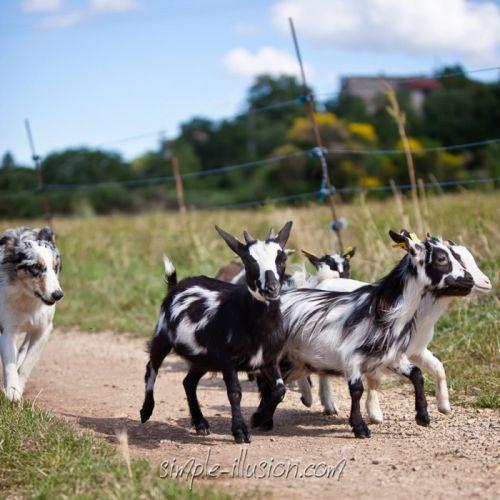 Glycine, notre jeune chienne Border Collie bleue merle nous ramène les petites Alsaciennes qui s'étaient trop éloignées...
