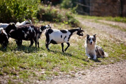 C'est au tour de notre petite FIESTA de venir faire connaissance avec notre jeune chienne Border Collie Glycine !