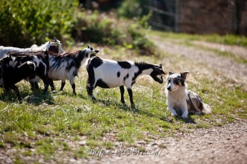 FIESTA et Glycine, notre jeune chienne Border Collie