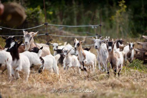 2eme partie de troupeau revenant au grand galop !