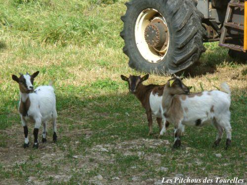 FANNY en compagnie d'ETOILE et GARIGUETTE, 3 chèvres toys
