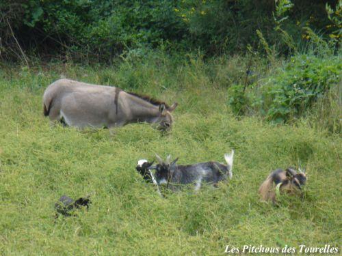 Mes chèvres et ânes miniatures...