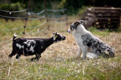 FLOCONETTE - 35 cm à 18 mois / 41 cm à 31 mois - chèvre toy noire & blanche